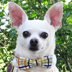 Andy Plaid Bow Tie Dog Collar