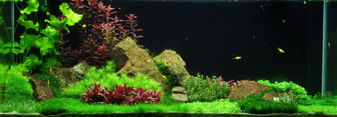 Lilaeopsis Brasiliensis Aquascaping Plant Buy Aquatic Plants Australia Buy Pond Plants