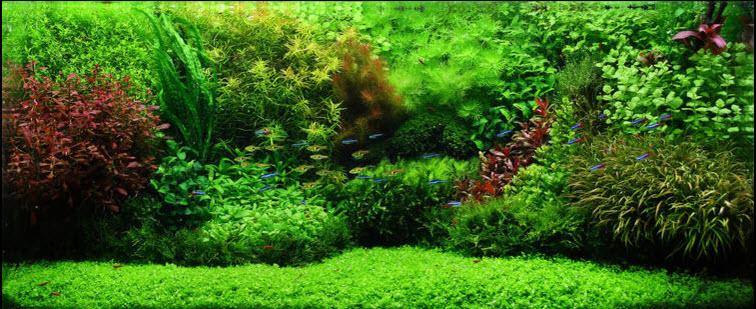 micranthemum-monte-carlo-aquascape.jpg