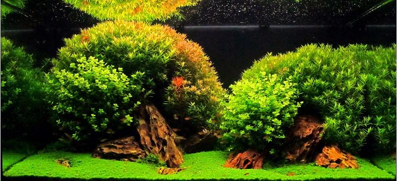 planting-hemianthus-callitrodes.png