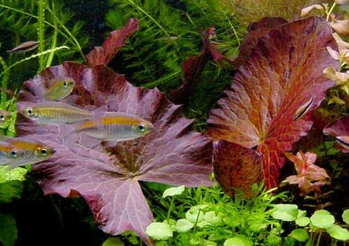 red-tiger-lotus-plant.jpg