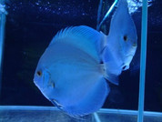 BLUE DIAMOND DISCUS 15-16 CM