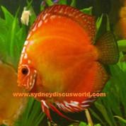 Malboro Red 13-14 cm Albino