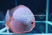 WHITE BUTTERFLY DISCUS 15-16 CM Pair