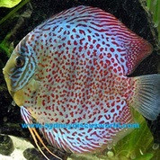 GERMAN ROYALTURQUOISE FISH 5-6 CM