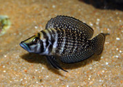 Altolamprologus calvus (Black)  3 cm