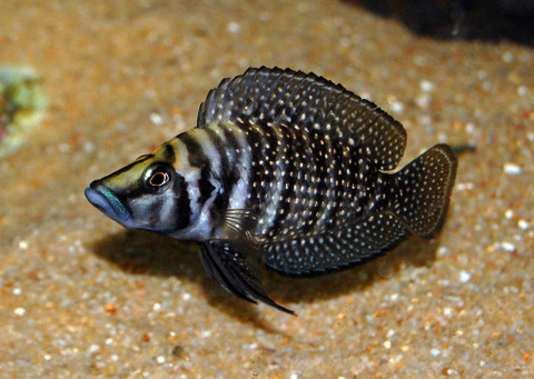 Altolamprologus calvus black 3 cm sydney discus world for Lake tanganyika fish