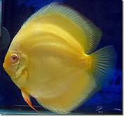 Albino Yellow Discus 9 cm