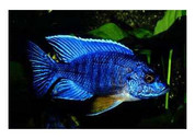 BLUE PEACOCK.10cm