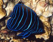 Majestic Angelfish- Juvenile 5-6cm