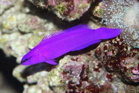 Purple Dottyback | Purple Dottyback 5cm Sydney Discus World Aquariums Online