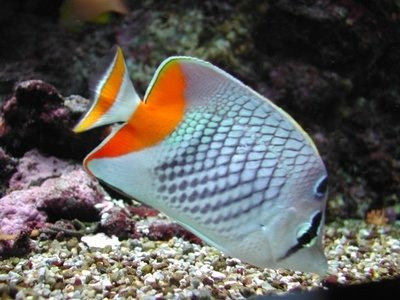 Pearlscale Butterflyfish - Sydney Discus World Aquariums ...