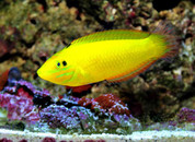 Yellow Wrasse (Halichoeres chrysus) 7cm