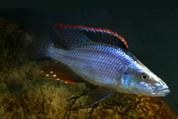 Dimidiochromis 10cm