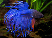 CROWNTAIL MALE FIGHTER 6cm
