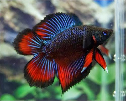 PLAKAT DOUBLE TAIL MALE FIGHTER 6Cm - SYDNEY DISCUS WORLD ...