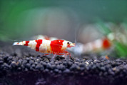 Crystal Red Shrimp1.5cm
