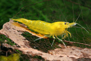 Yellow Shrimp1.5cm