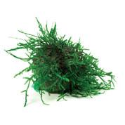 Fontinalis Topiary Ball