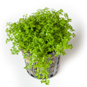 Buy Hemianthus Callitrichoides