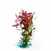 Narrow Ludwigia
