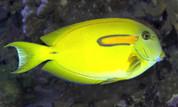 Yellow shoulder tang