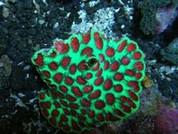 Favia speciosa Watermelon Coral 8cm