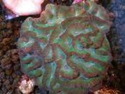Outophyllia crispa Green Swollen Maze 8cm