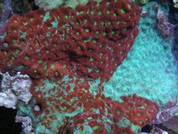 Favities pentagona War Coral 8cm