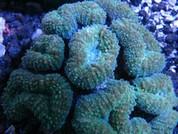 Mussa Flower Coral 8cm