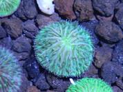 Fungia sp Helmet Disk 5cm LP0012