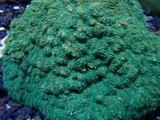 Sandalolitha robusta Green Many Mouths 10cm