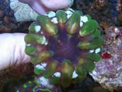 Cynarina lacrymalis Button - Green 5cm