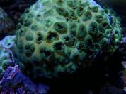 Palythoa sp. Sea Mat 10CM