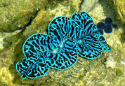 Maxima Clam Colored 15 CM CL001