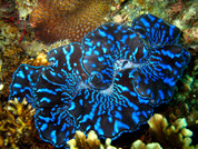 Maxima Clam Colored 15 CM CL002
