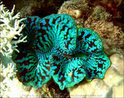 Maxima Clam Colored 15 CM CL003