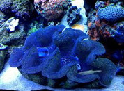 Maxima Clam Colored 15 CM CL004