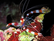 Banded Coral Shrimp (Stenopus hispidus) 10cm