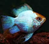 Electric blue Balloon  ram 5 cm (German)