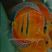 Wild red Jaraqui royal 13 cm F1