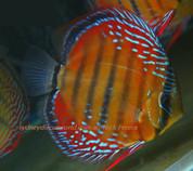 Wild discus Nhamunda red 13 cm