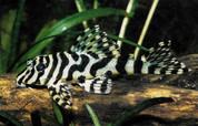 Leopard Frog Pleco – Peckoltia Compta, L134