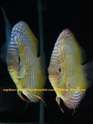 Rio Xingu Golden Discus Wild F2 12 cm