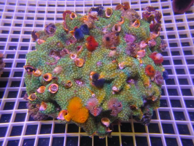 Christmas Worm Rock Green Small 13 Cm Sydney Discus World Aquariums P L