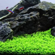 If you are looking for an easy care, carpeting plant for your aquarium, look no further than Monte Carlo.