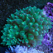 Anemone Bubbletip Green 12cm
