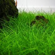 Eleocharis belem 'Hair Grass' Cup