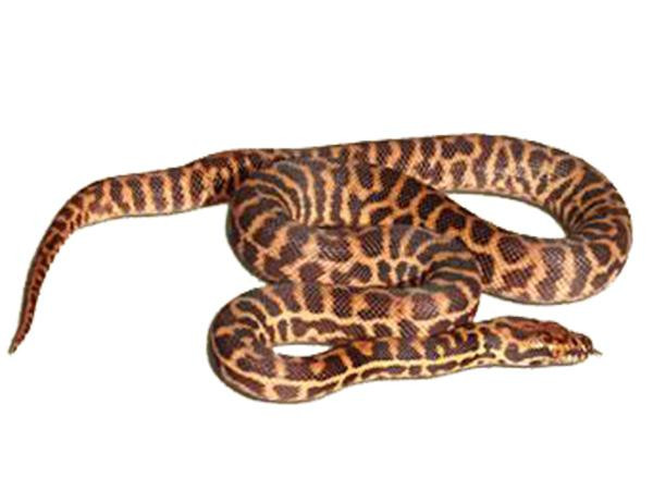 Stimson S Python Georgetown Hatchling Sydney Discus World Aquariums P L