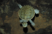 MACQUARIE SHORT NECK TURTLE 6 cm